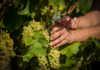 JuvéCamps inicia su tercera vendimia ecológica